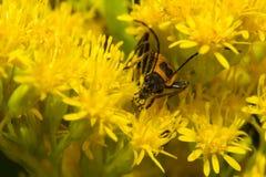 Het Insect van de bliksem. Royalty-vrije Stock Foto's