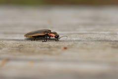 Het Insect van de bliksem Royalty-vrije Stock Afbeelding