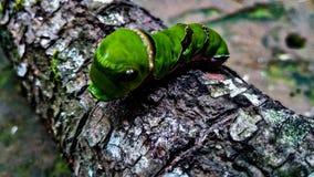 Het insect van de citroenboom Royalty-vrije Stock Foto