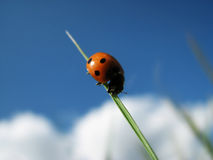 Het insect van de dame Stock Afbeelding