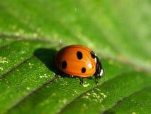Het insect van de dame Stock Foto