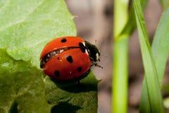 Het insect van de dame stock fotografie
