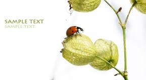 Het insect van de dame Royalty-vrije Stock Foto
