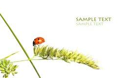 Het insect van de dame Royalty-vrije Stock Foto's