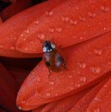 Het insect van de dame Stock Foto's