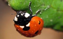 Het insect van de dame op een blad Royalty-vrije Stock Foto's