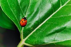 Het insect van de dame Stock Afbeeldingen