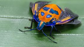 Het Insect van de hibiscusharlekijn of Katoenen Harlekijninsect, Tectocoris-diophthalmus, het vrouwelijke Gouden brede beeld van  stock afbeelding