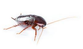 Het insect van de kakkerlak op witte achtergrond Royalty-vrije Stock Foto's