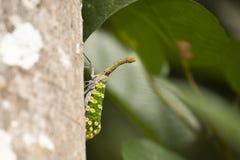 Het insect van de lantaarn royalty-vrije stock foto's
