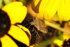 Het Insect van de Militair van Spined (maculiventris Podisus) Royalty-vrije Stock Foto's