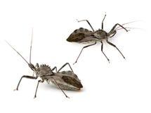Het Insect van de moordenaar royalty-vrije stock afbeelding