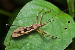 Het insect van de moordenaar Royalty-vrije Stock Foto's