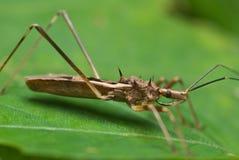 Het insect van de moordenaar Stock Foto's