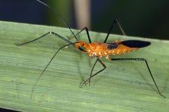 Het Insect van de moordenaar Stock Fotografie
