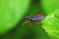 Het insect van de moordenaar stock afbeeldingen