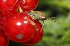 Het insect van de ouder op de rode aalbessen stock afbeelding