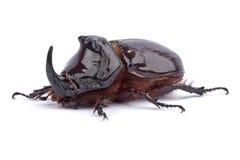 Het Insect van de rinoceros Stock Afbeelding