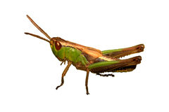 Het insect van de sprinkhaan Stock Fotografie