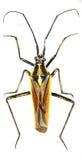 Het Insect van de weideinstallatie op witte Achtergrond Stock Fotografie