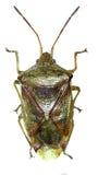 Het Insect van het berkschild op witte Achtergrond Stock Afbeeldingen