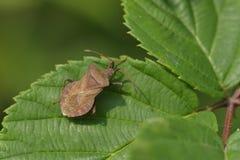 Het insect van het dok stock fotografie