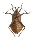 Het insect van het dok, marginatus Coreus royalty-vrije stock afbeeldingen