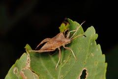 Het insect van het dok (marginatus Coreus) Stock Afbeelding