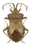 Het Insect van het dokblad op witte Achtergrond Royalty-vrije Stock Foto's