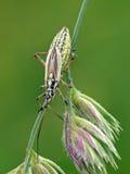 Het insect van het gras Stock Foto's