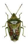 Het Insect van het jeneverbessenschild op witte Achtergrond Stock Foto