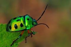 Het Insect van het juweel Royalty-vrije Stock Fotografie