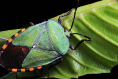 Het Insect van het schild stock foto