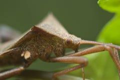 Het insect van het schild Royalty-vrije Stock Foto