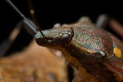 Het insect van het schild Royalty-vrije Stock Afbeeldingen
