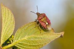 Het insect van het schild het stemmen Royalty-vrije Stock Foto's