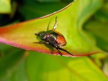 Het Insect van juni Stock Foto's