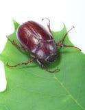 Het insect van juni Stock Afbeeldingen