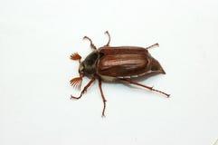 Het insect van juni. Stock Afbeeldingen