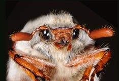Het insect van Mei Royalty-vrije Stock Foto's