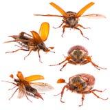 Het insect van mei het vliegen royalty-vrije stock afbeeldingen
