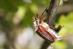 Het insect van mei (Scarabaeidae) Stock Foto's