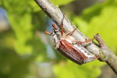 Het insect van mei (Scarabaeidae) Stock Fotografie