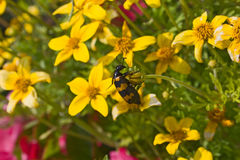 Het insect van Milkweed Royalty-vrije Stock Foto