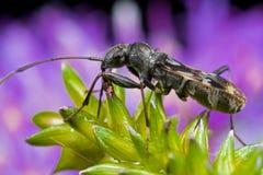 Het insect van Mirid Royalty-vrije Stock Afbeelding