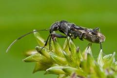 Het insect van Mirid Royalty-vrije Stock Foto's