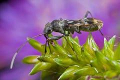 Het insect van Mirid met purpere achtergrond Stock Afbeelding