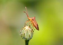 Het Insect van Wilter van het takje Royalty-vrije Stock Afbeelding