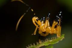 Het insectennimf van de moordenaar Royalty-vrije Stock Afbeelding