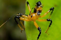 Het insectennimf van de moordenaar Stock Foto's